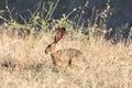 Alert Black-tailed Jackrabbit Lepus californicus Camouflaged. Royalty Free Stock Photo
