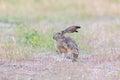 Alert Black-tailed Jackrabbit Lepus californicus. Royalty Free Stock Photo