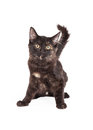 Alert black and tan domestic longhair kitten a very four month old sitting ready to move Stock Photo