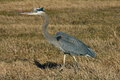 Alert blue heron in the wild bird its natural enviornment Stock Images