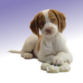Alert brittany dog week old puppy Royalty Free Stock Photo