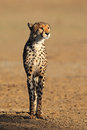 Alert cheetah acinonyx jubatus kalahari desert south africa Stock Photos