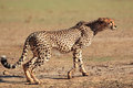 Alert cheetah acinonyx jubatus kalahari desert south africa Royalty Free Stock Image