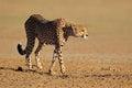 Alert cheetah acinonyx jubatus kalahari desert south africa Royalty Free Stock Images