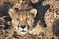 Alert cheetah crouching Royalty Free Stock Photography