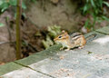 Alert chipmunk on wood deck in shadow. Royalty Free Stock Photo