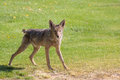Alert coyote a in green grass on full Stock Photography