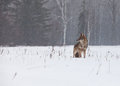 Alert coyote middle field freezing rain mist creates soft mournful feel to winter scene Royalty Free Stock Images