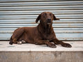Alert dog rests on an empty shop verandah in nepal Stock Photo