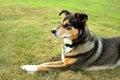 Alert German Shepherd Mix Dog Royalty Free Stock Photo