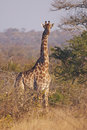 Alert giraffe in thorny bushveld Royalty Free Stock Photography