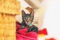 Alert gray tabby kitten lying on red pillow Royalty Free Stock Photo