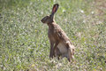 Alert hare lepus europaeus european in the grass Royalty Free Stock Photos