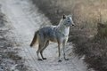Alert Indian Jackal on Dirt Road in Kanha National Park, India Royalty Free Stock Photo