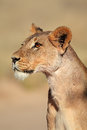 Alert lioness Royalty Free Stock Photo