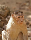 Alert little monkey portrait of a Royalty Free Stock Photography