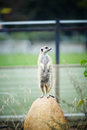 Alert meerkat standing suricata suricatta Royalty Free Stock Photos