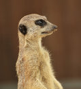 Alert meerkat suricata suricatta standing on guard close up Royalty Free Stock Photos