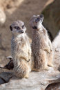 Alert meerkats Royalty Free Stock Photo