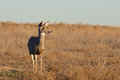 Alert mule deer doe an standing in a field Royalty Free Stock Photography