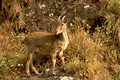 Alert Nilgiri Tahr Royalty Free Stock Images