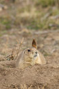 Alert prairie dog on burrow a sitting up at the entrance to its Royalty Free Stock Photography