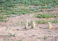 Alert Prairie Dog Family Stock Photo