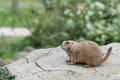 Alert prairie dog genus cynomys little looking at the viewer Royalty Free Stock Images