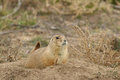 Alert prairie dog a sitting up on at the entrance to its burrow Stock Image