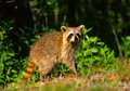 Alert Raccoon Stock Images