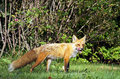 Alert red fox licks his lips Stock Image
