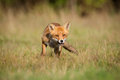Alert red fox wild with copyspace Stock Image