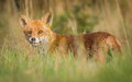 Alert red fox wild in tall grass Stock Images