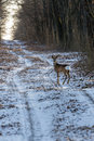 Alert roe on the forest road in winter
