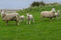 Alert sheep a group of five looking by the ocean Royalty Free Stock Images