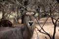 Alert waterbuck listening carefully to every sound Royalty Free Stock Images