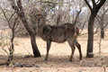 Alert waterbuck listening carefully to every sound Royalty Free Stock Photo