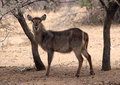 Alert waterbuck listening carefully to every sound Stock Photography