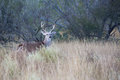 Alert whitetail buck raising his head up Royalty Free Stock Photo
