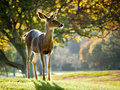Alert Whitetail deer