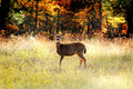 An alert whitetail deer young dear in a grassy field at the edge of a forest in autumn shallow depth of field Royalty Free Stock Photo