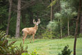 Alert Wild Deer with antlers at edge of forest Stock Photos