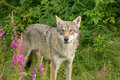 An alert wolf Royalty Free Stock Photo