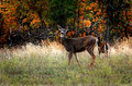 Alert young deer two dear in a grassy field at the edge of a forest in autumn shallow depth of field Stock Images
