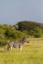 Alert zebra a vertical image of an adult burchell s in golden light Stock Image