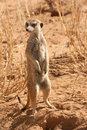 AlertSuricate (Meerkat) in Namibië Royalty-vrije Stock Foto's