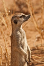 AlertSuricate (Meerkat) in Namibië Royalty-vrije Stock Foto