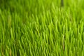 Alfalfa Grass Royalty Free Stock Images