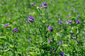 Alfalfa medicago sativa also called lucerne is a perennial flowering plant in the pea family it is cultivated as an important Stock Photography