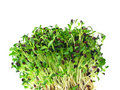 Alfalfa sprouts Royalty Free Stock Photo
